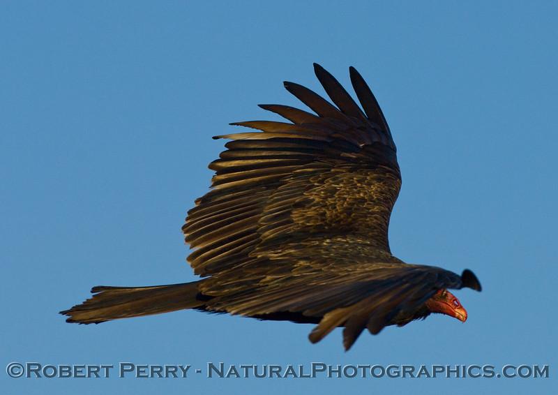 Turkey vulture in flight Cathartes aura 2007 01-06 Piedras Blancas--002