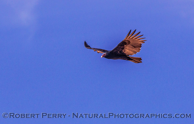 Cathartes aura Turkey vulture in flight 2017 10-16-Staten Island-429