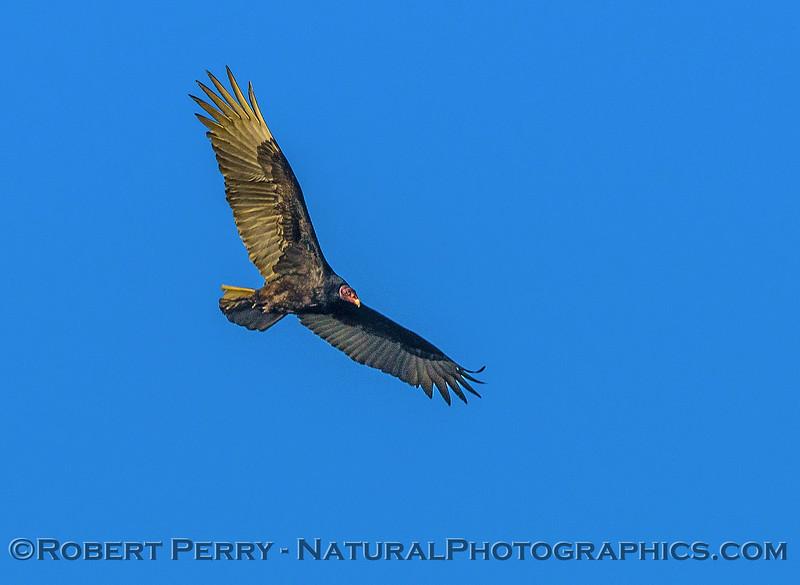 Cathartes aura turkey vulture in flight 2016 12-18 Sacramento NWR-002