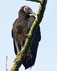 Turkey Vulture,