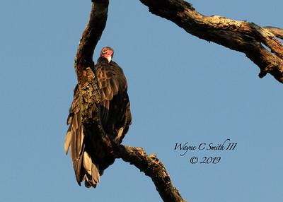 Turkey Vulture in Dead Tree