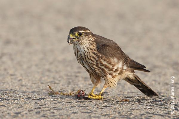 14 October: Merlin at Jones Beach