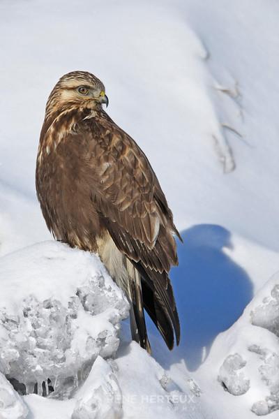 Rough legged hawk on snow