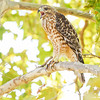 RED-SHOULDERED HAWK, hatch-year