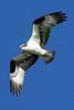 Osprey over STinson Beach early morning.Jocelyn Knight Photo