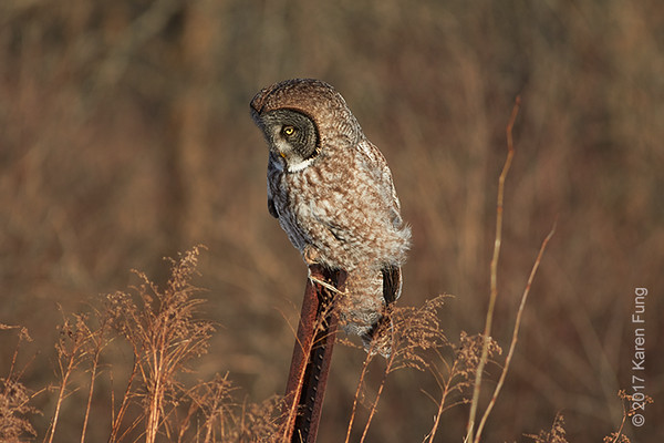 19 Feb: Great Gray Owl