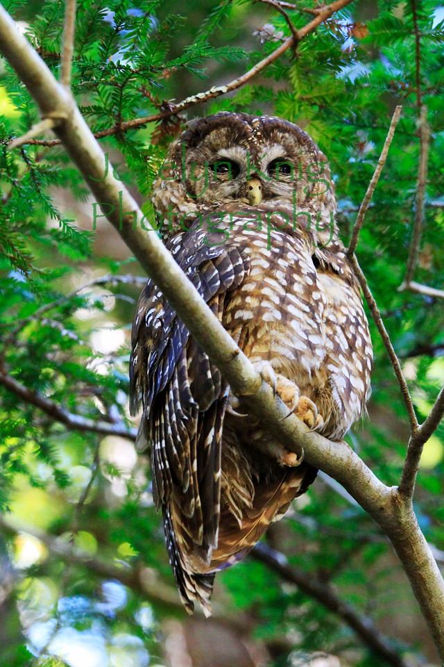Northern Spotted Owl 5470