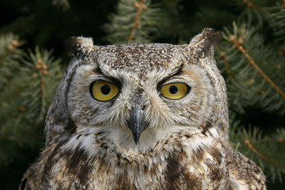 Closeup of a great horned owl head.  Photo by Scott Root, Utah Division of Wildlife Resources.