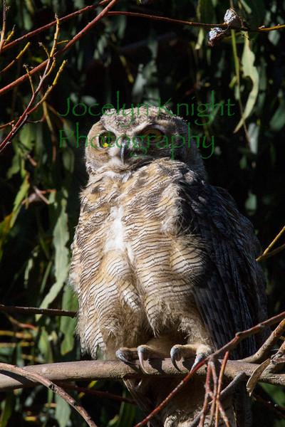 Owl0843