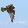 Marsh harrier - juvenile זרון סוף - צעיר