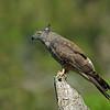 Pacific Baza (Aviceda subcristata)