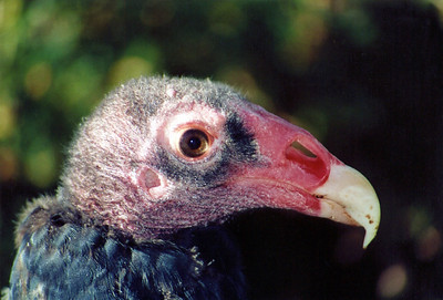 Detailed turkey vulture head.  Photo by Scott Root, Utah Division of Wildlife Resources.