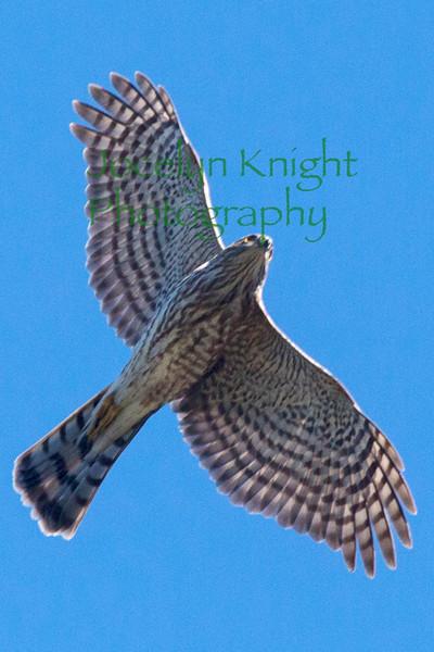 Sharp-Shinned Hawk23042304