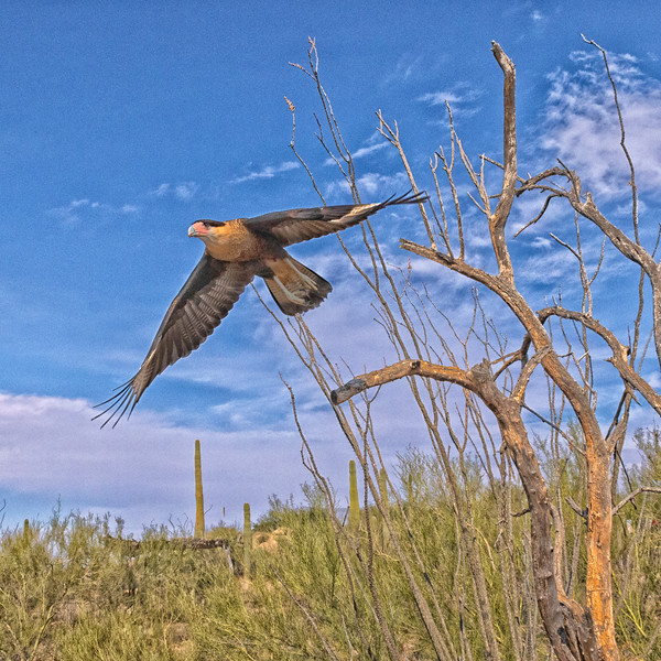 Crested Caracara in flight at Desert museum