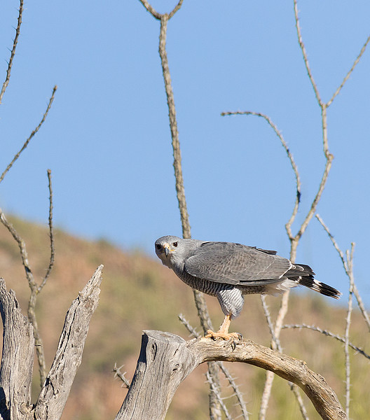 Gray hawk at desert museum (trained)
