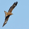 Black Kite or Fork-tailed Kite (Milvus migrans)