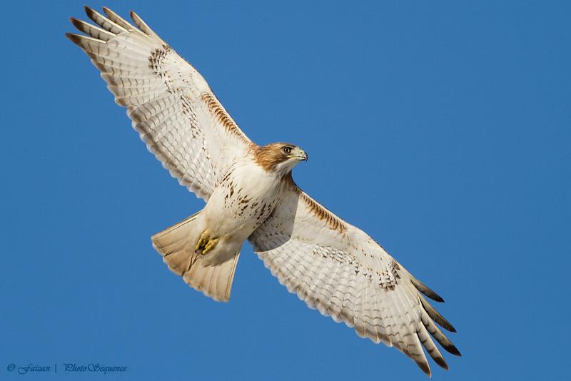 Red Tailed Hawk - At Richard W. DeKorte Park, Meadowlands, NJ