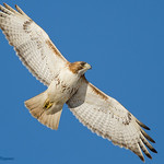 Red Tailed Hawk - At Richard W. DeKorte Park, Meadowlands, NJ