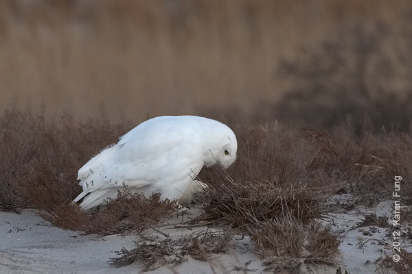 1 January: Snowy Owl in fading light, 4:33pm.  It was still there when we left at 5pm.  All photos were taken from the edge of the parking lot.