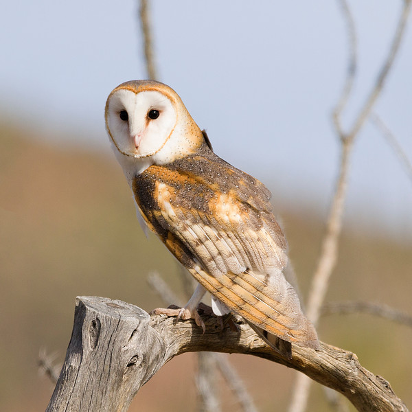 Curious Barn owl at raptor free flight