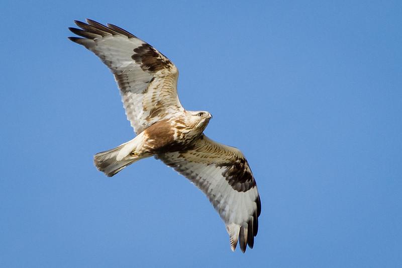 Rough Legged Hawk (Light Morph) - At Richard W. DeKorte Park, Meadowlands, NJ