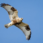 Rough Legged Hawk (Light Morph) - At Richard W. DeKorte Park, Meadowlands, NJ