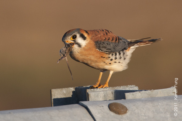 26 December: American Kestrel eating a vole at Floyd Bennett Field, Brooklyn.  Photographed from my car window.