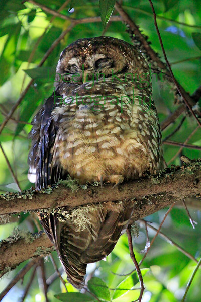 Spotted Owl  9191