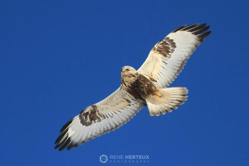 Rough legged hawk stare-down