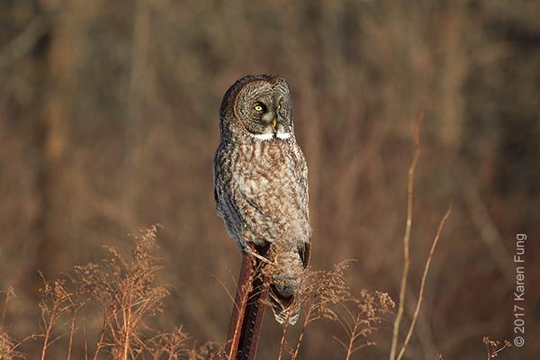 19 Feb: Great Gray Owl