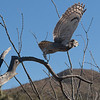 Great horned owl take off