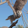 Great horned owl coming at you