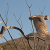 Side view of flying Great horned owl