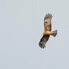 Square-tailed Kite (Lophoictinia isura)
