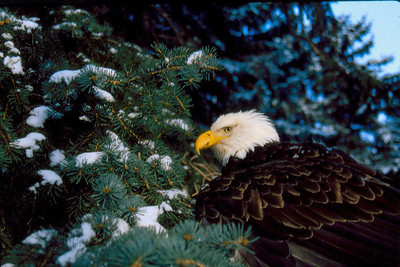 Mature bald eagle in a conifer.  Photo by Scott Root, Utah Division of Wildlife Resources.