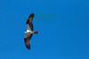 Osprey1039