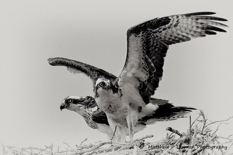 Osprey Couple  #880