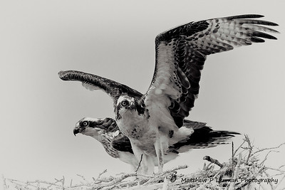 Osprey Couple  #880