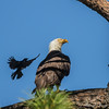 Grackle harassing BE showing Bald Eagle with nictitating membrane