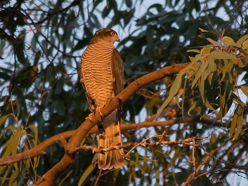 Sparrow hawk - female. few seconds after sunrise<br /> נץ מצוי - נקבה שניות אחדות אחרי הזריחה