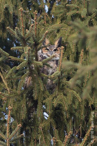 16 Jan: Great Horned Owl