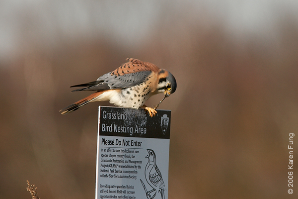 American Kestrel eating a dragonfly.  Photographed from my car window at Floyd Bennett Field, Brooklyn.