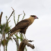 Caracara at desert museum