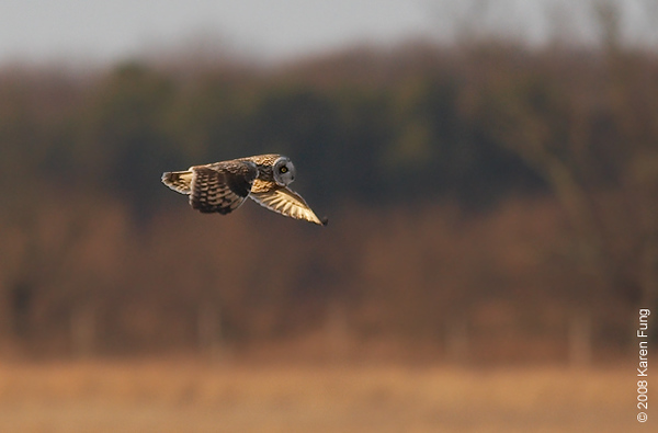 "March 1st: Short-eared Owl at the former Grumman airport property (now known as EPCAL) in Calverton, NY. To join the efforts to save these grasslands from development, click <b><a href=""http://www.libirding.com/Calverton.html""> here </a></b>."