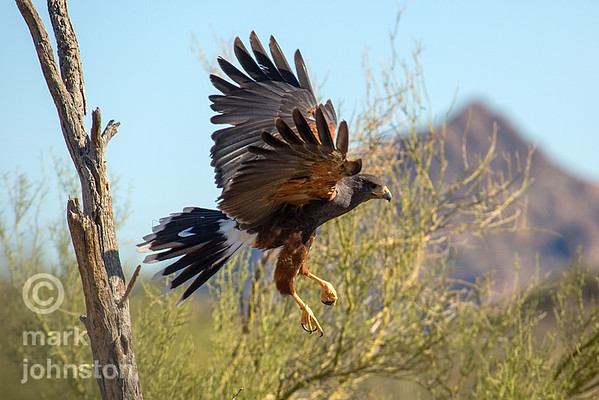 Harris Hawk launches into flight