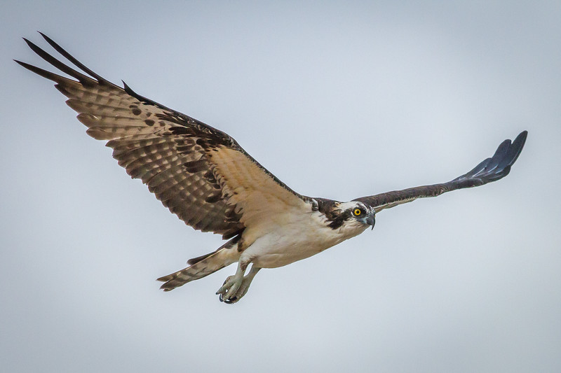 Osprey, North Peninsula State Park, Florida