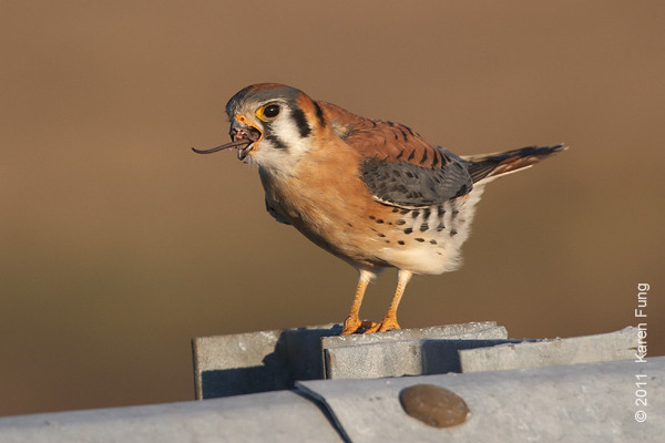 26 December: American Kestrel swallowing a vole at Floyd Bennett Field, Brooklyn.  Photographed from my car window.