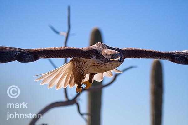 Ferruginous Hawk, Buteo regalis in flight