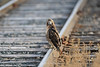 Red tailed hawk on train tracks