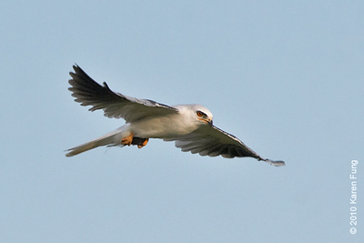 28 August: White-tailed Kite with vole at Stratford Point, CT